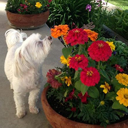 A small white dog smelling an orange flower