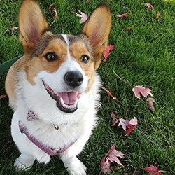 A corgi sitting in the grass and looking at the camera