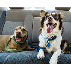 Two corgi mixes sitting in the back of a car
